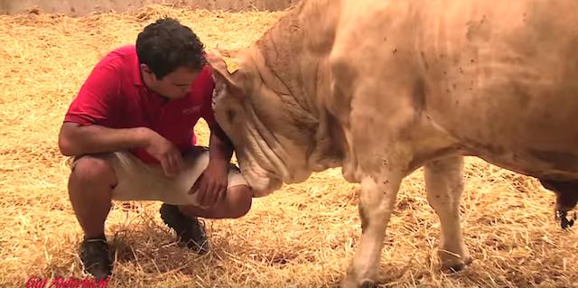 【感動】鎖に繋がれていた「牛」が解放され、喜びのあまり驚きの行動に・・・