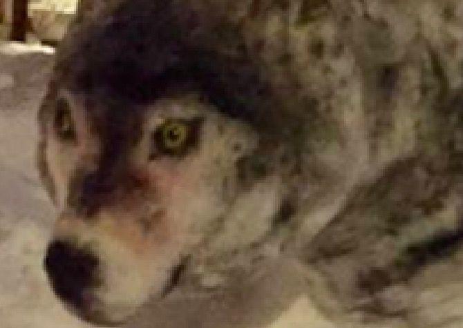 民家の庭に突如オオカミが出現。その「意外な理由」にほっこり