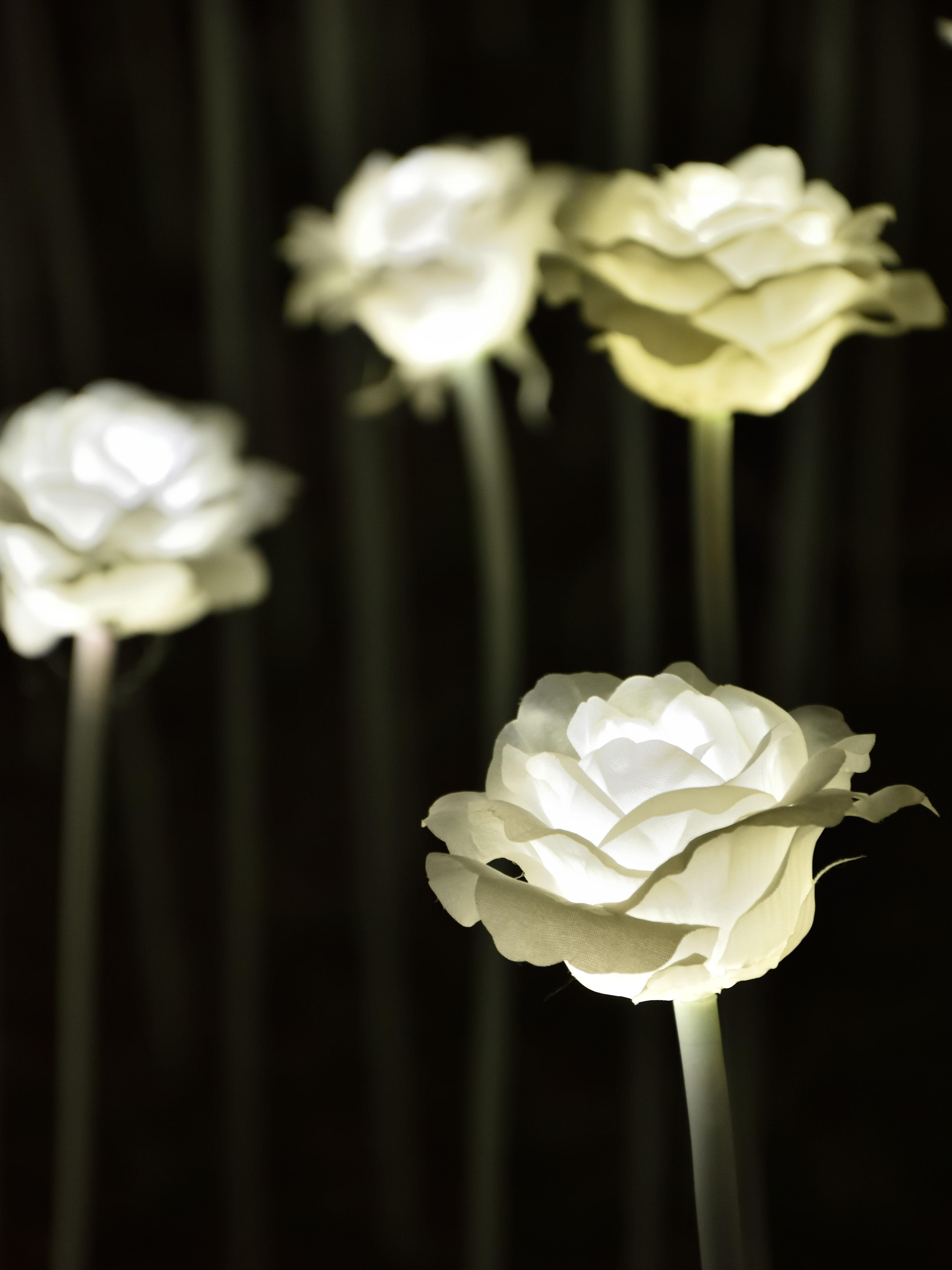 バレンタインデーの日に、香港に咲いた25,000本の「白いバラ」にうっとり・・・