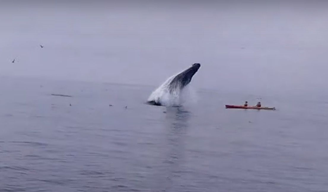 九死に一生!カヤックのそばでクジラが大ジャンプ(動画あり)