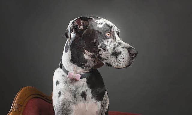 ワンダフル!愛犬の健康を管理する「蝶ネクタイ型デバイス」が登場