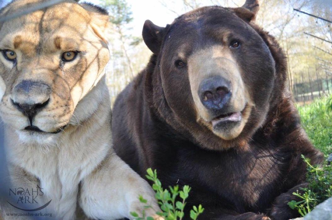 15年間ひとときも離れようとしない「ライオン・クマ・トラ」3頭組