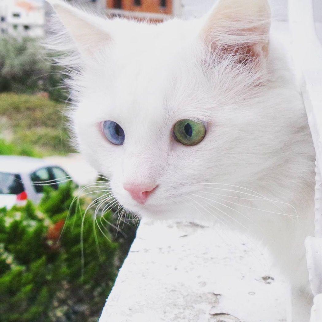 アイドル猫界に新星!?エイロスちゃんの「ブルーとグリーンの眼差し」にノックアウト!