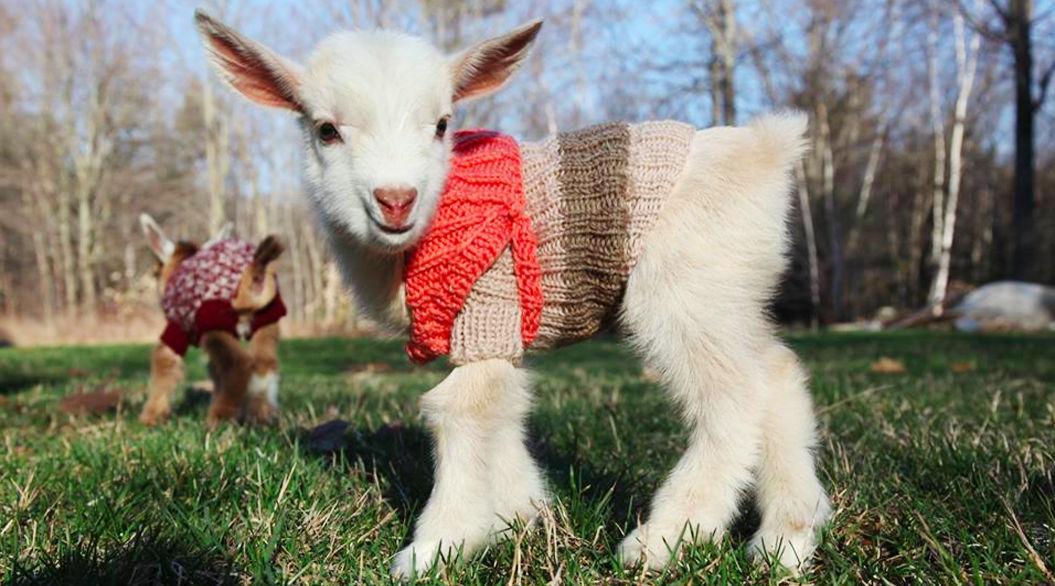 かわいさ悶絶級。セーターを着た赤ちゃんヤギがキュート♡(動画あり)