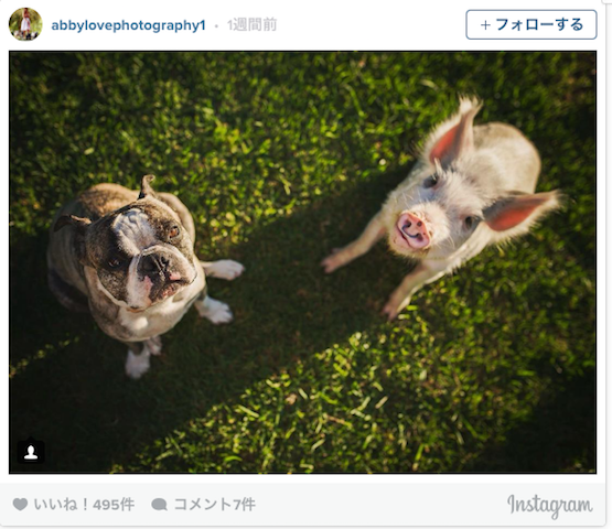 間違いなく「自身を犬だと思っているブタ」がキュートすぎ!(写真14枚)