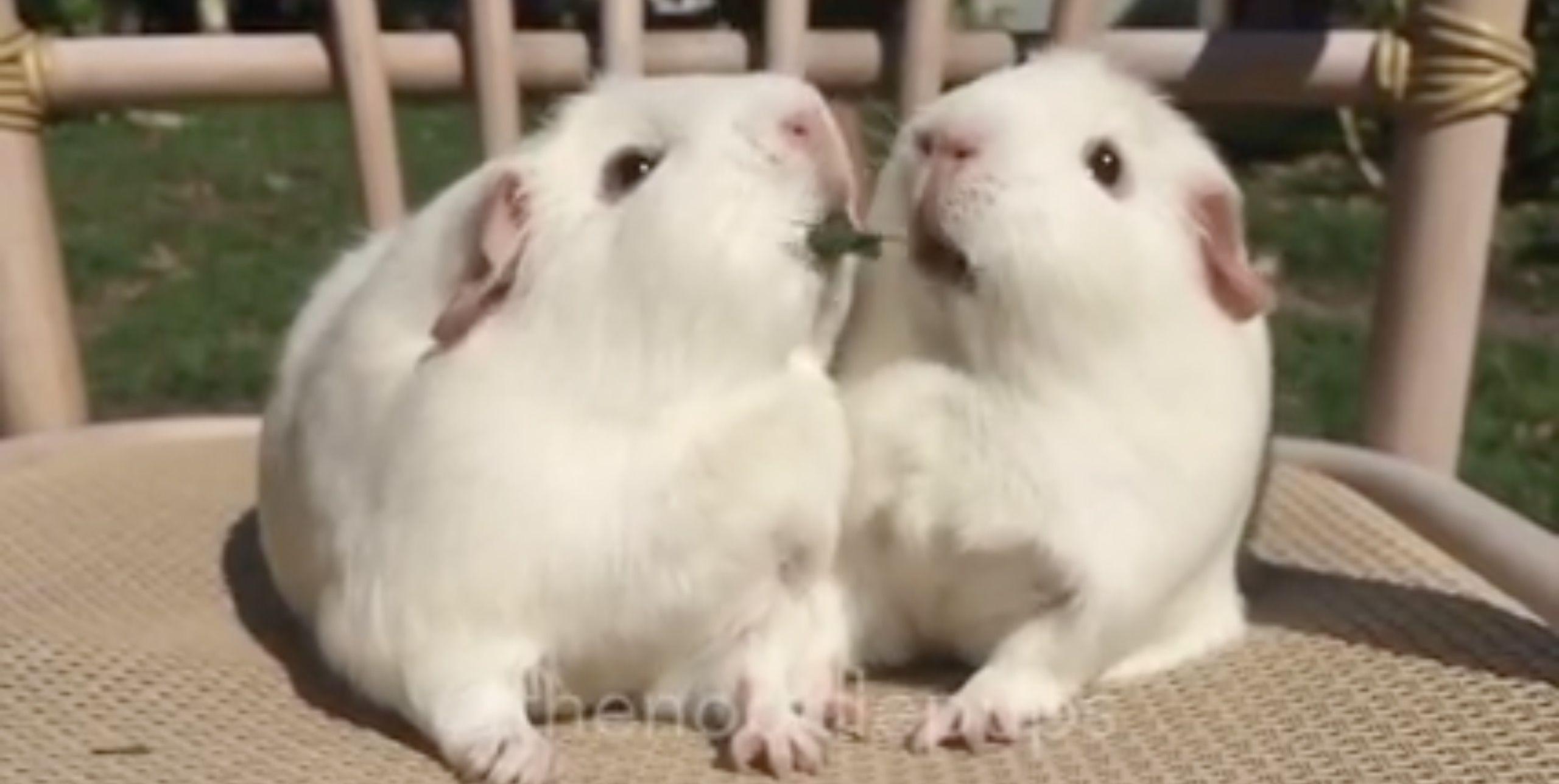 2匹のモルモットが、葉っぱで「ポッキーゲーム」(動画あり)