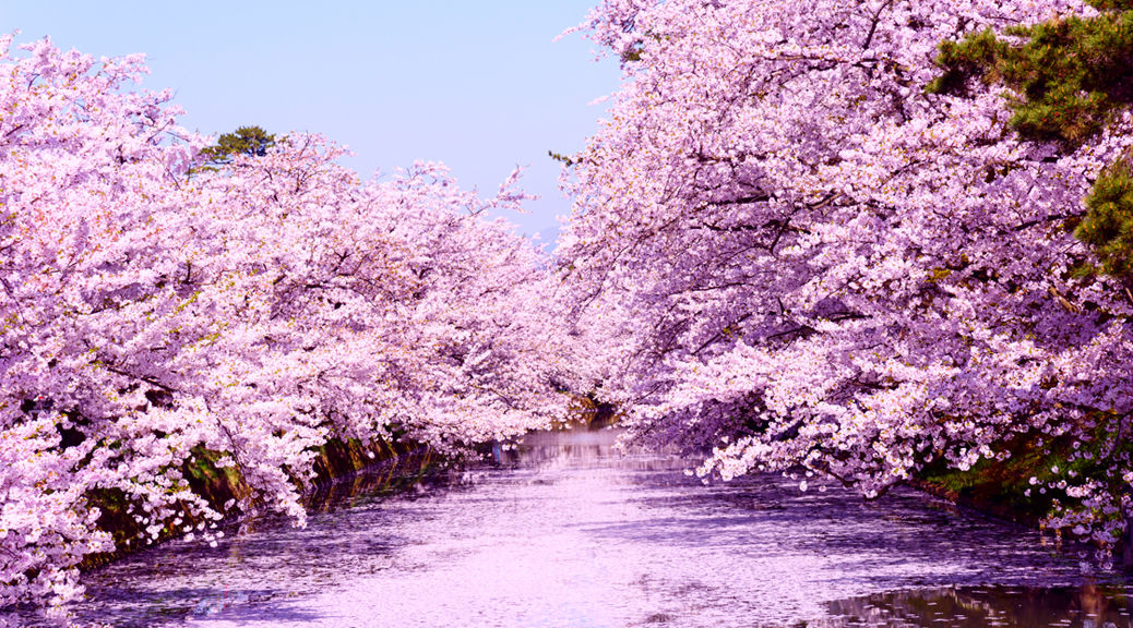 青森県にある世界で一番美しい「桜の絨毯」を知っていますか?