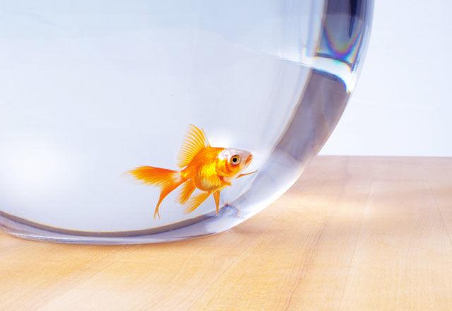 スイスでは、金魚を1匹だけで飼うのは違法。一体なぜ?