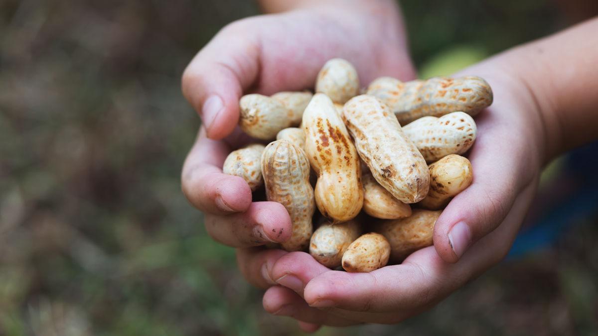 9月は生落花生の季節!「殻ごと塩茹で」がビールのおつまみに最高です。