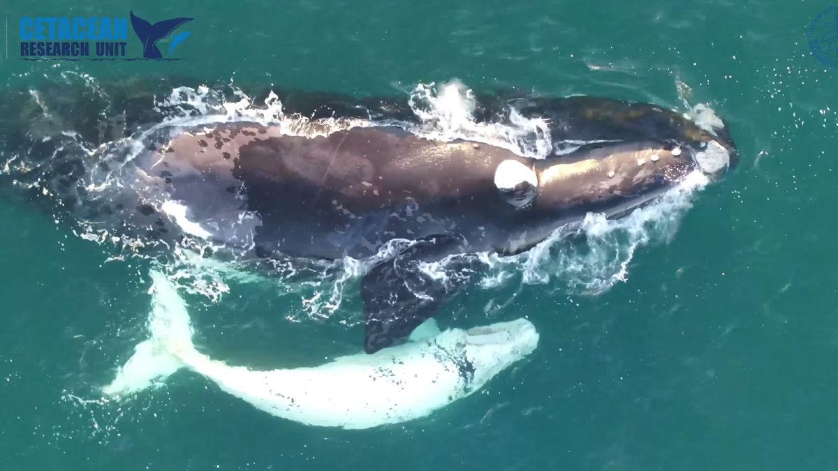 幻の「白クジラ」がじゃれ合う姿をドローンで撮影!(オーストラリア)