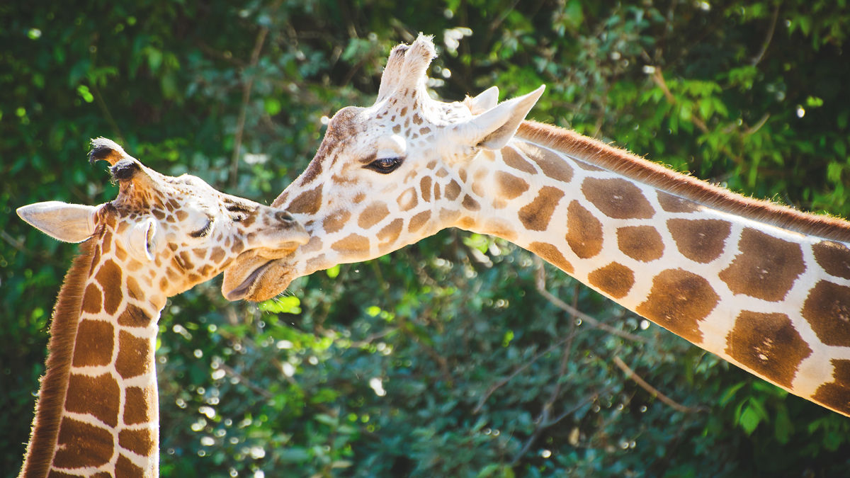 久しぶりに動物園へ行きたくなる話題。「キリンは4種存在した」