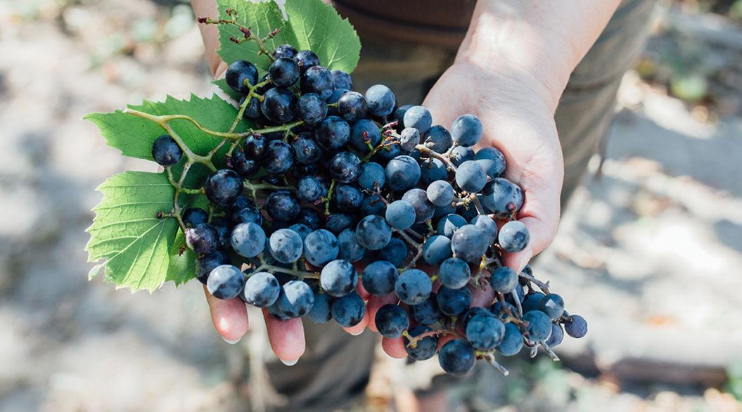 最旬期のブドウを「あえて焼く」という美味しさの新提案