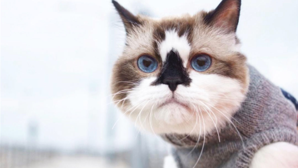 フシギな「お鼻」が人気のマンチカン猫