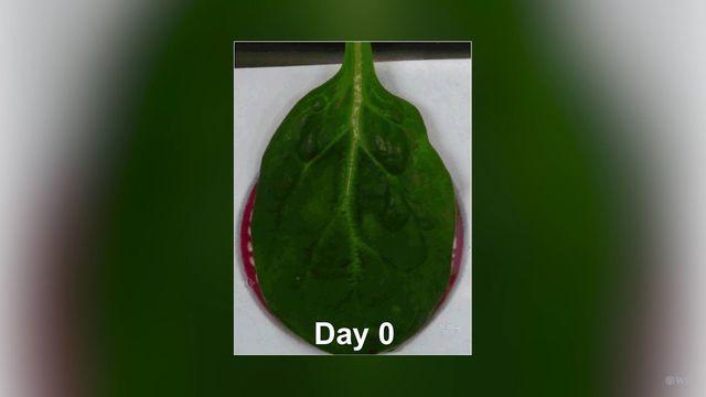 ほうれん草の葉脈が、心臓の組織になる?(米・研究結果)